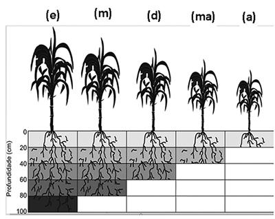 Figura 1. Exploração do sistema radicular nos solos com diferenciação química em sub superfície (TCC de Thiago A.B. do Prado, UFSCar, Araras-SP).